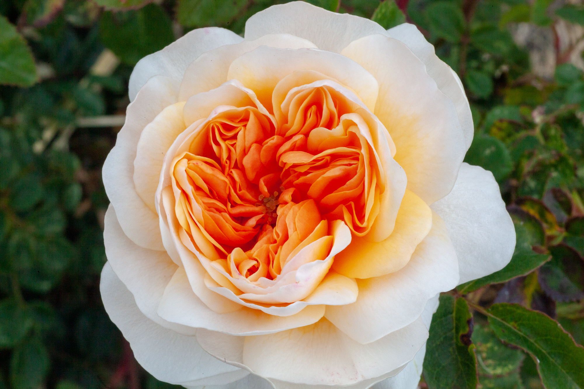 Port Sunlight Rose from David Austin