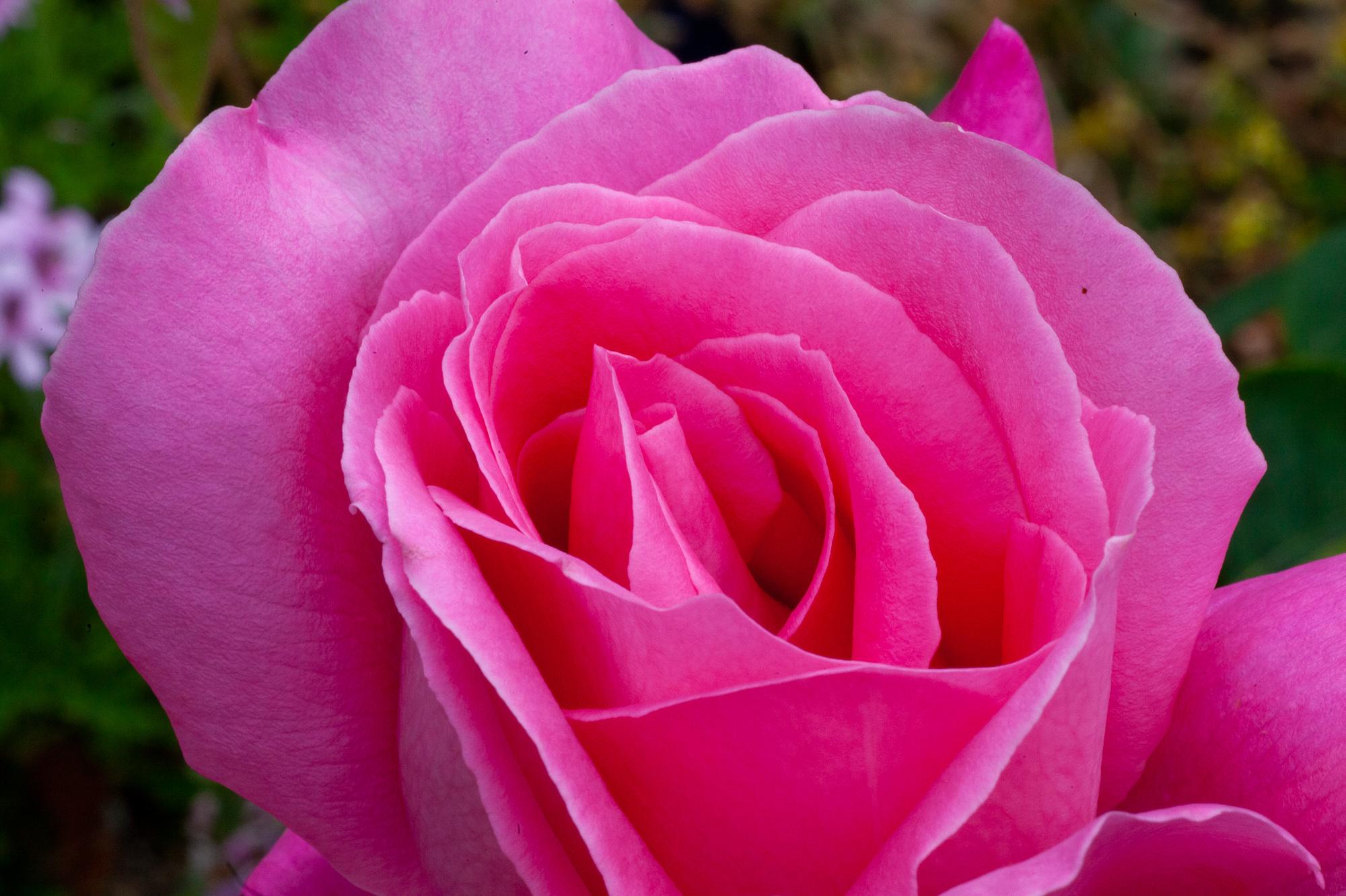 pinkfrostcloseup.jpg