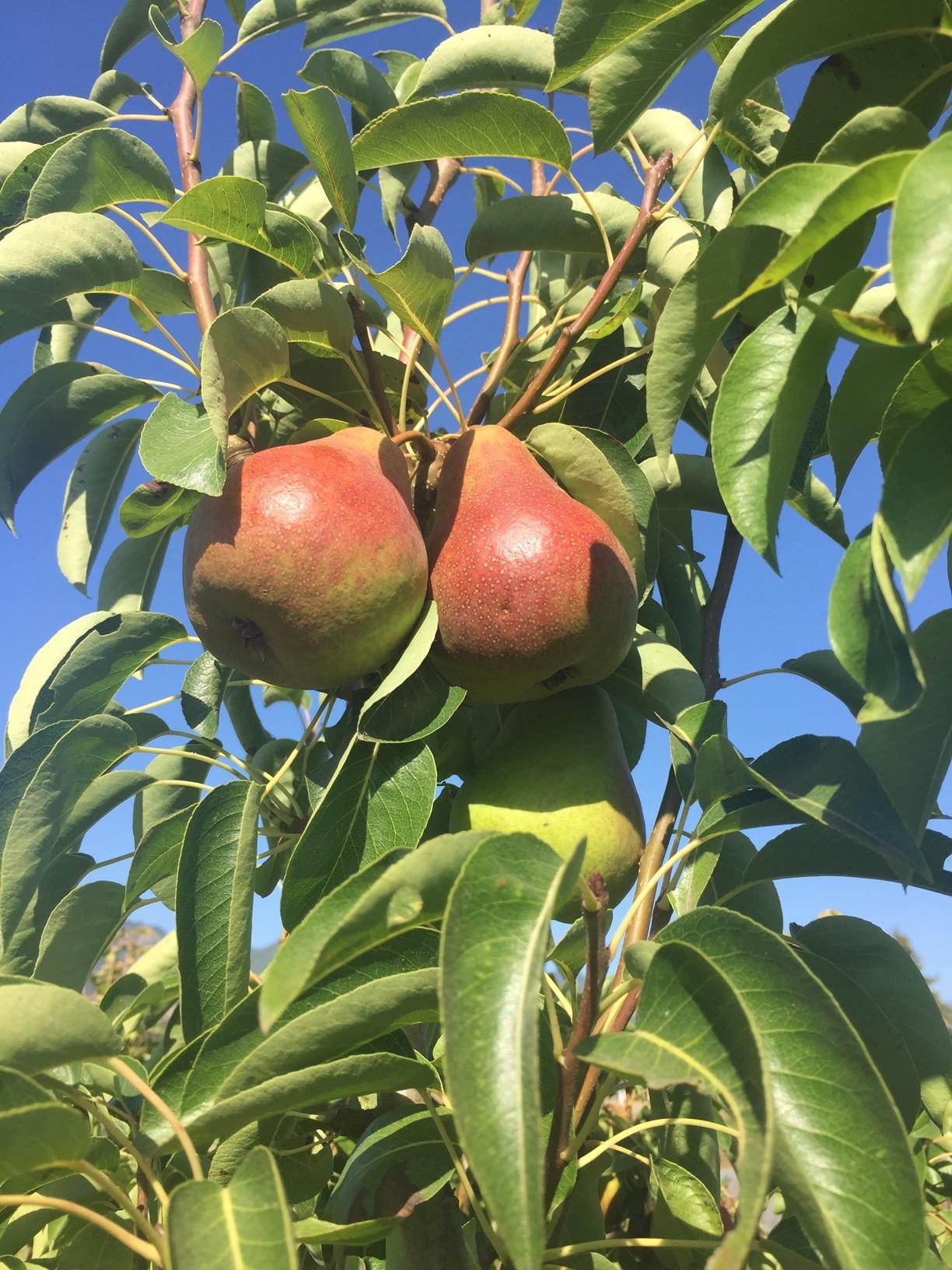 Harrow's Delight Pear