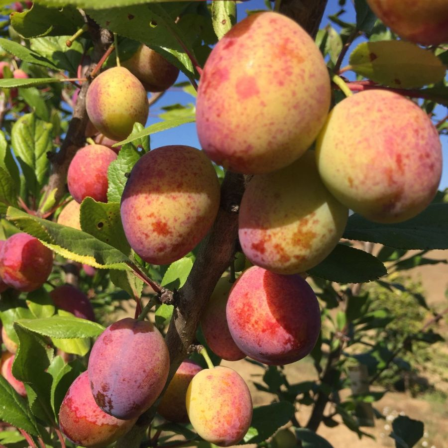 Imperial Epineuse Plums