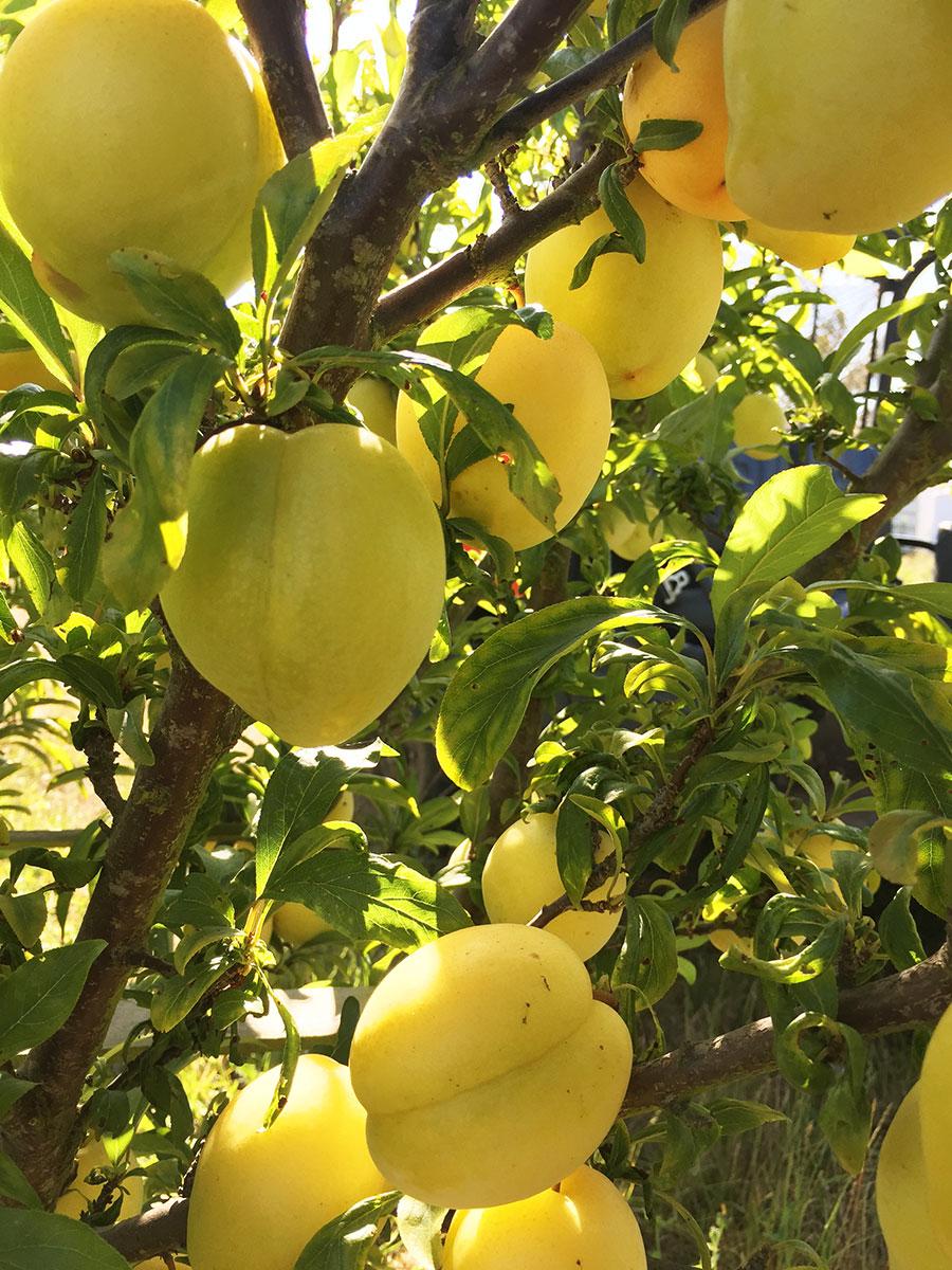 Golden Nectar Plums