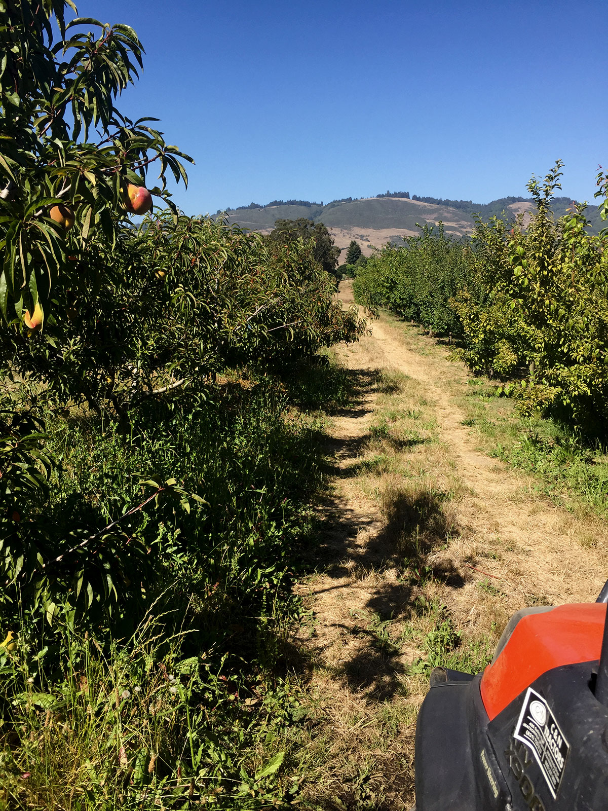 Me and My Trusty ATV Mabel Have Been Doing Some Summer Pruning in the Orchard