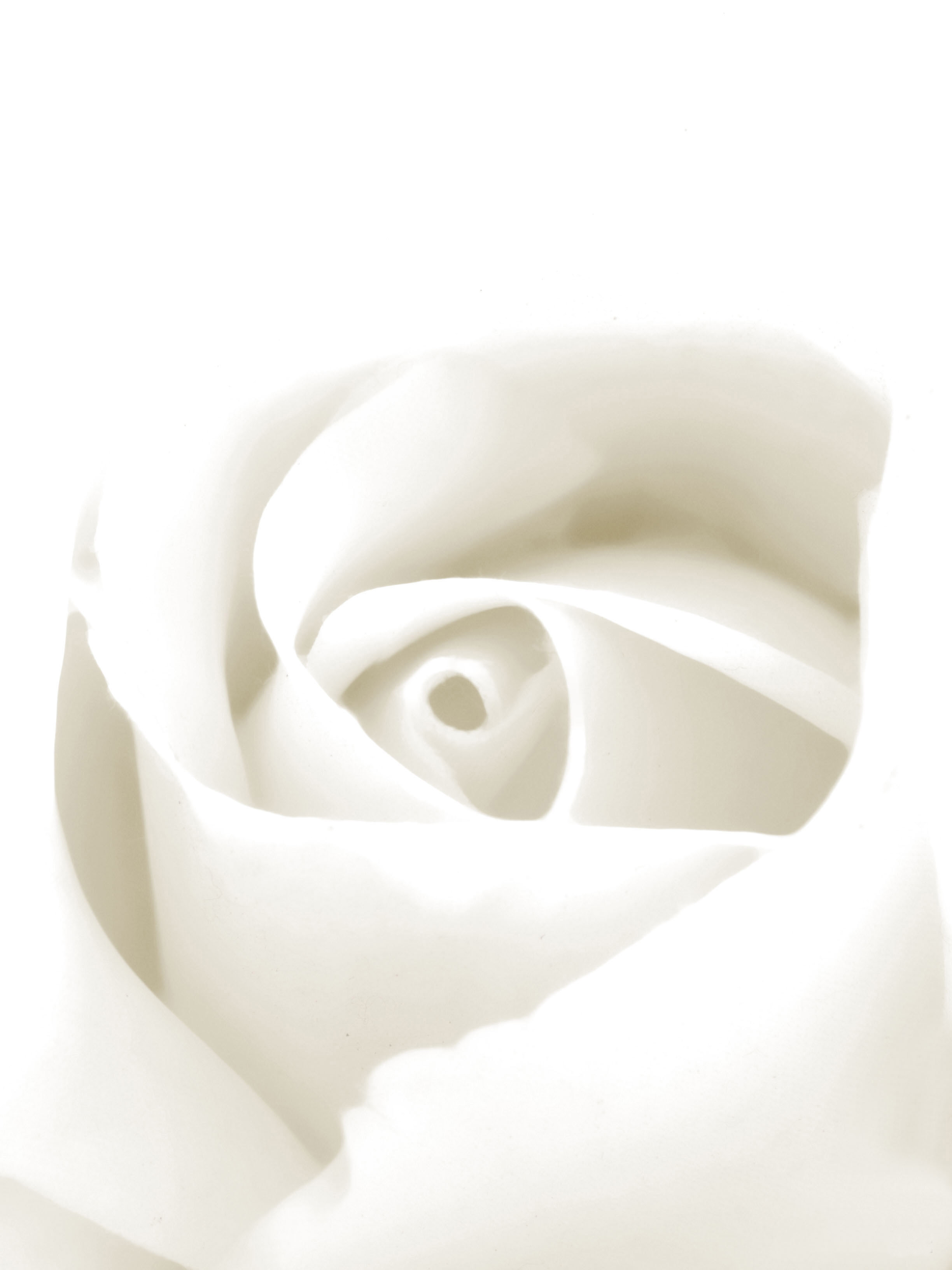 The White Rose by Manolo Toledo - Downloaded from 500px.jpg