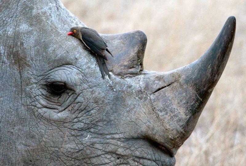 Oxpecker+and+rhino.jpg