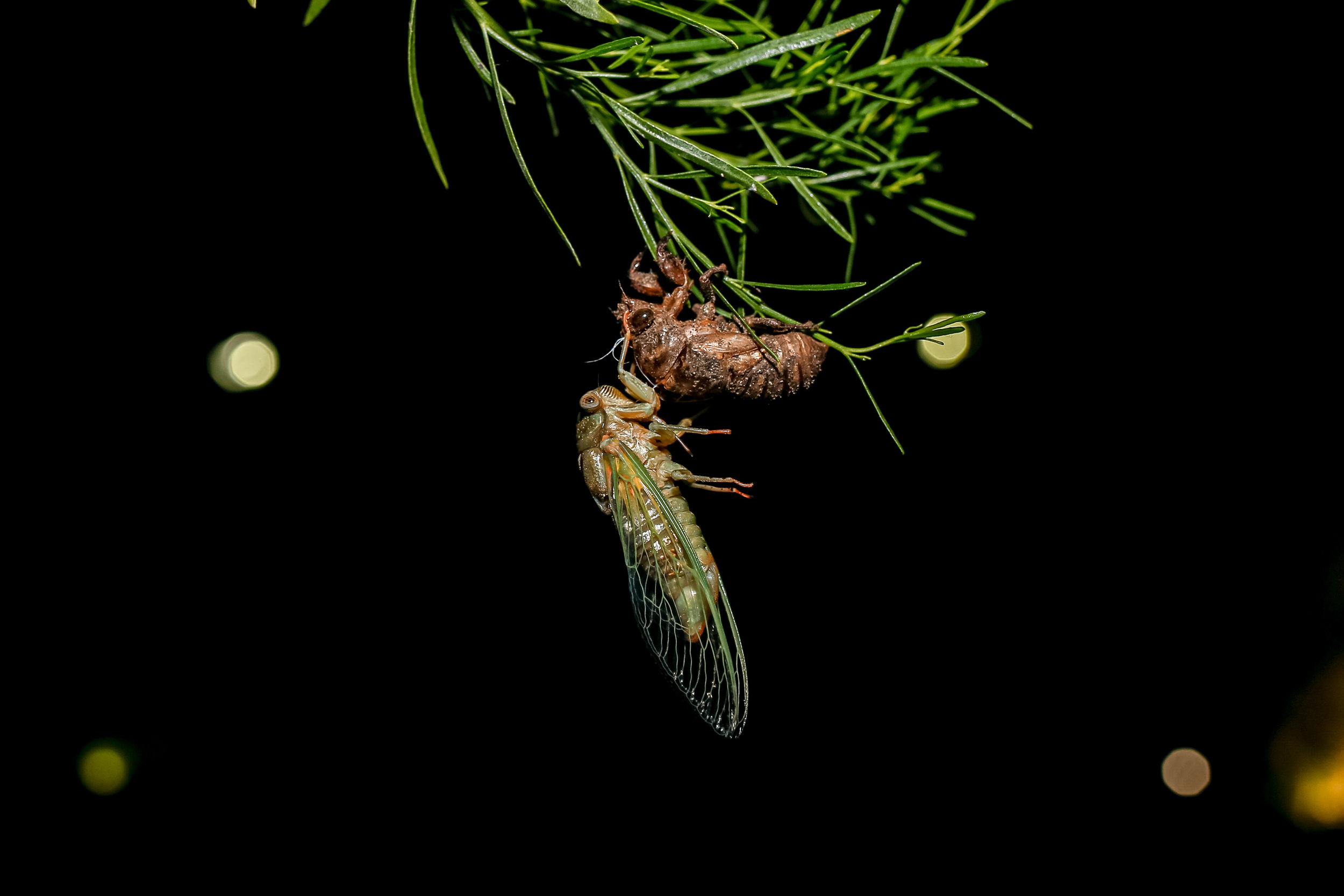 APRIL 3, 2019 | A CICDAOIDEA CLIMBS OUT OF ITS SHELL TO BEGIN HIS LAST STAGE AS A FULL ADULT.