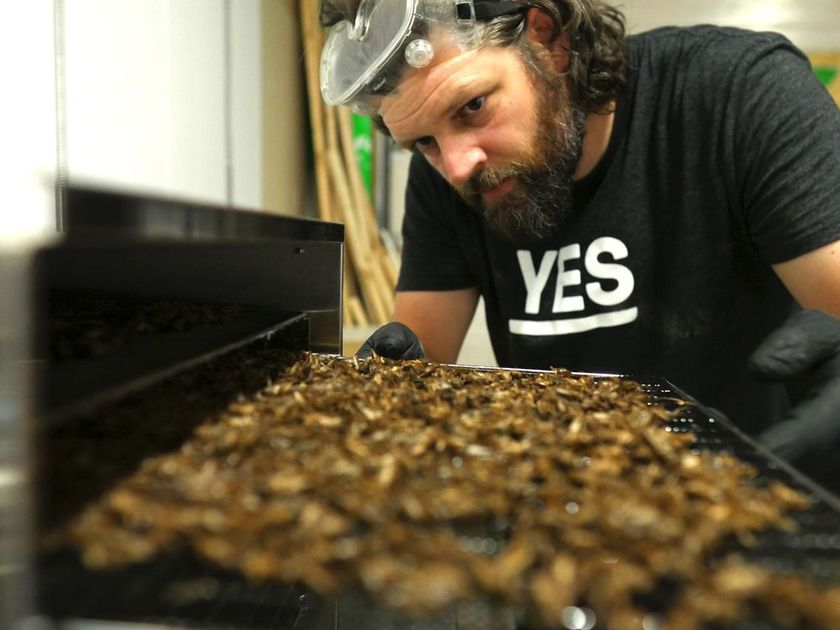 Joe Shouldice holds a tray of dry-roasted crickets, which he sells as snacks, at his cricket farm in Owen Sound, Ont. on Wednesday, June 26, 2019. His business, Yes Crickets, recently won a $5, 000 grant in a nation-wide contest. Patrick Spencer/The Owen Sound Sun Times/Post Media Network  PATRICK SPENCER / PATRICK SPENCER/THE SUN TIMES/POST MEDIA NETWORK