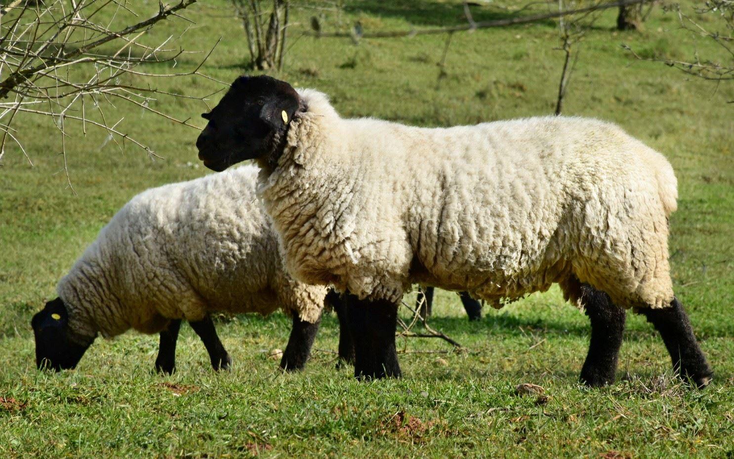 Sobre nós-foto ovelhas suffolk.jpg