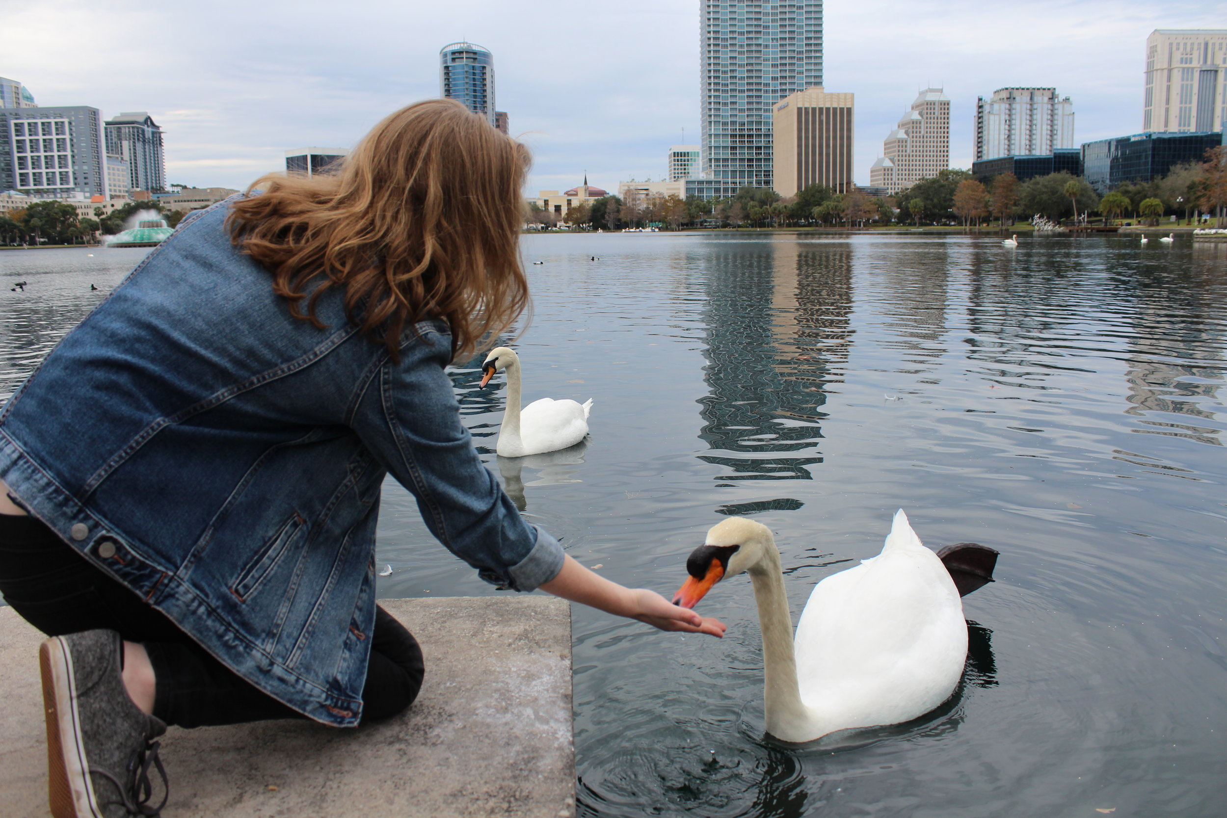 Swan Feeding at Lake Eola