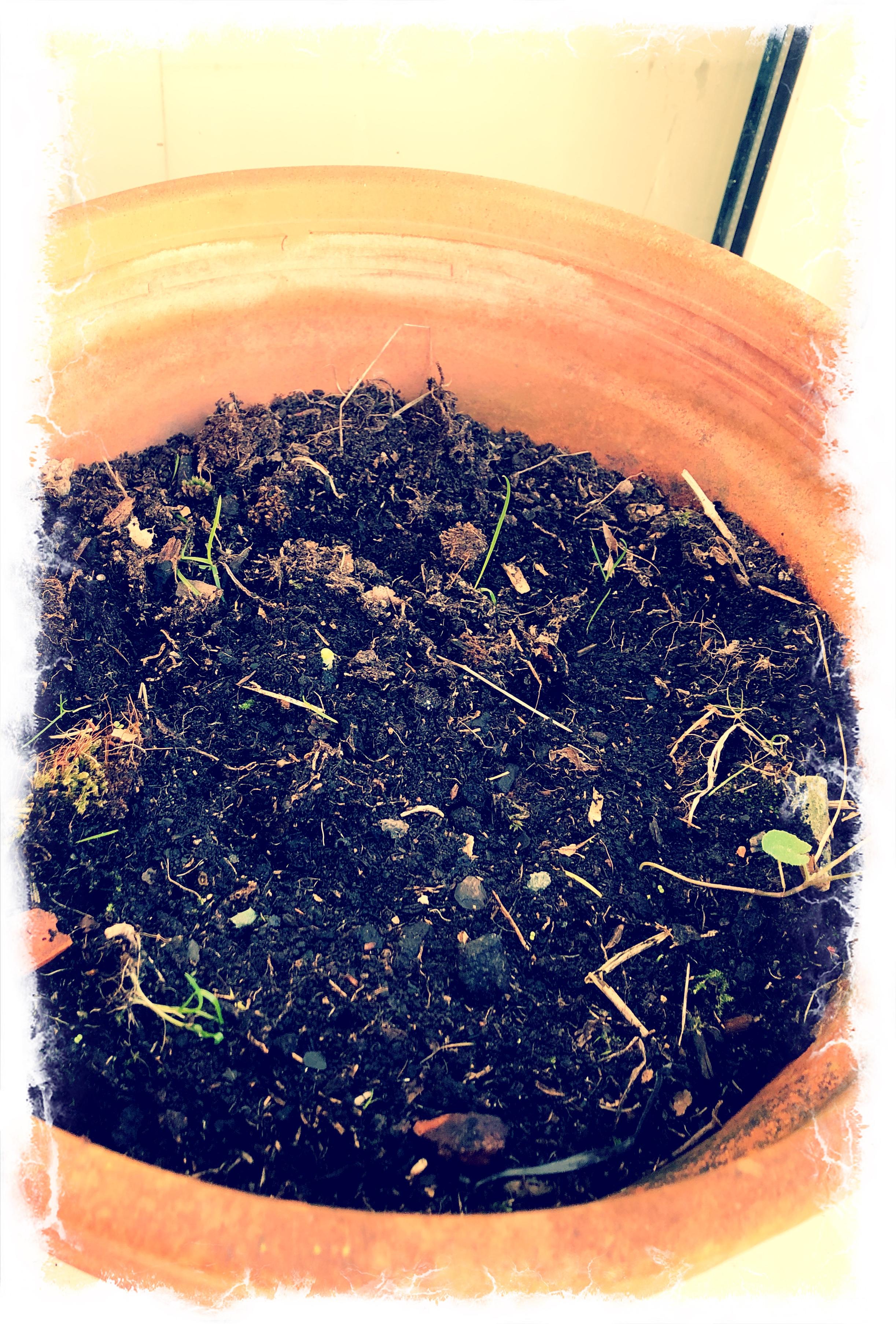 Tiny green shoot in big plant pot