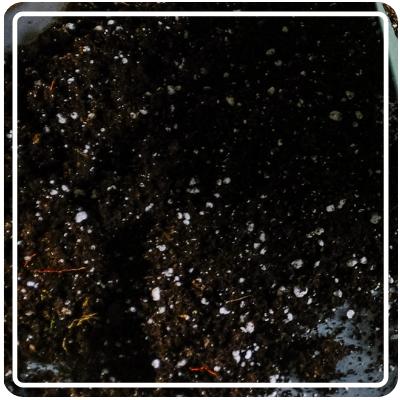 Red Burgundy Okra - 50LB / 5LB / 1/2LB / 1/4LB / Small Pack