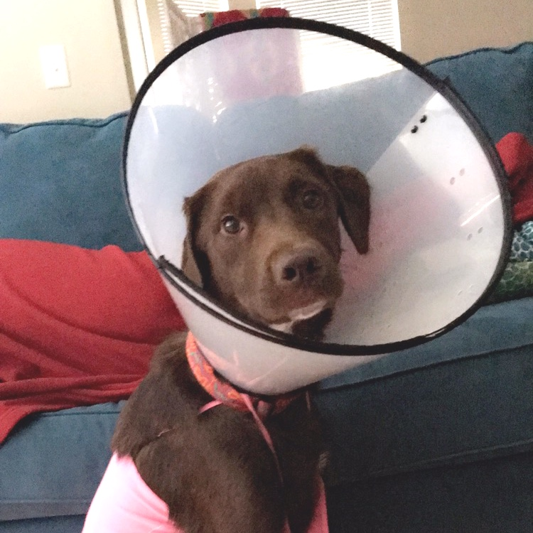 Mako's three weeks in the cone were a blast. Especially when she was wearing a tank top, being babysat by her favorite Auntie Heidi, and getting extra attention cause everyone wanted to know what happened! Does she miss it? Heck no!