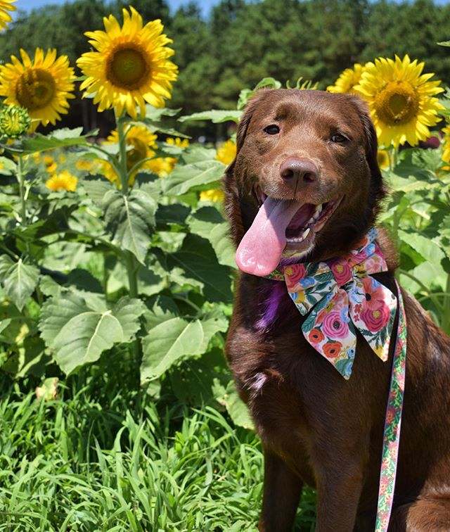 I don't know what's more beautiful mako and her @chaseandchauncey bow or these sunflowers! #sunfest #bowislife #summer 🌻🌻🌻🌻