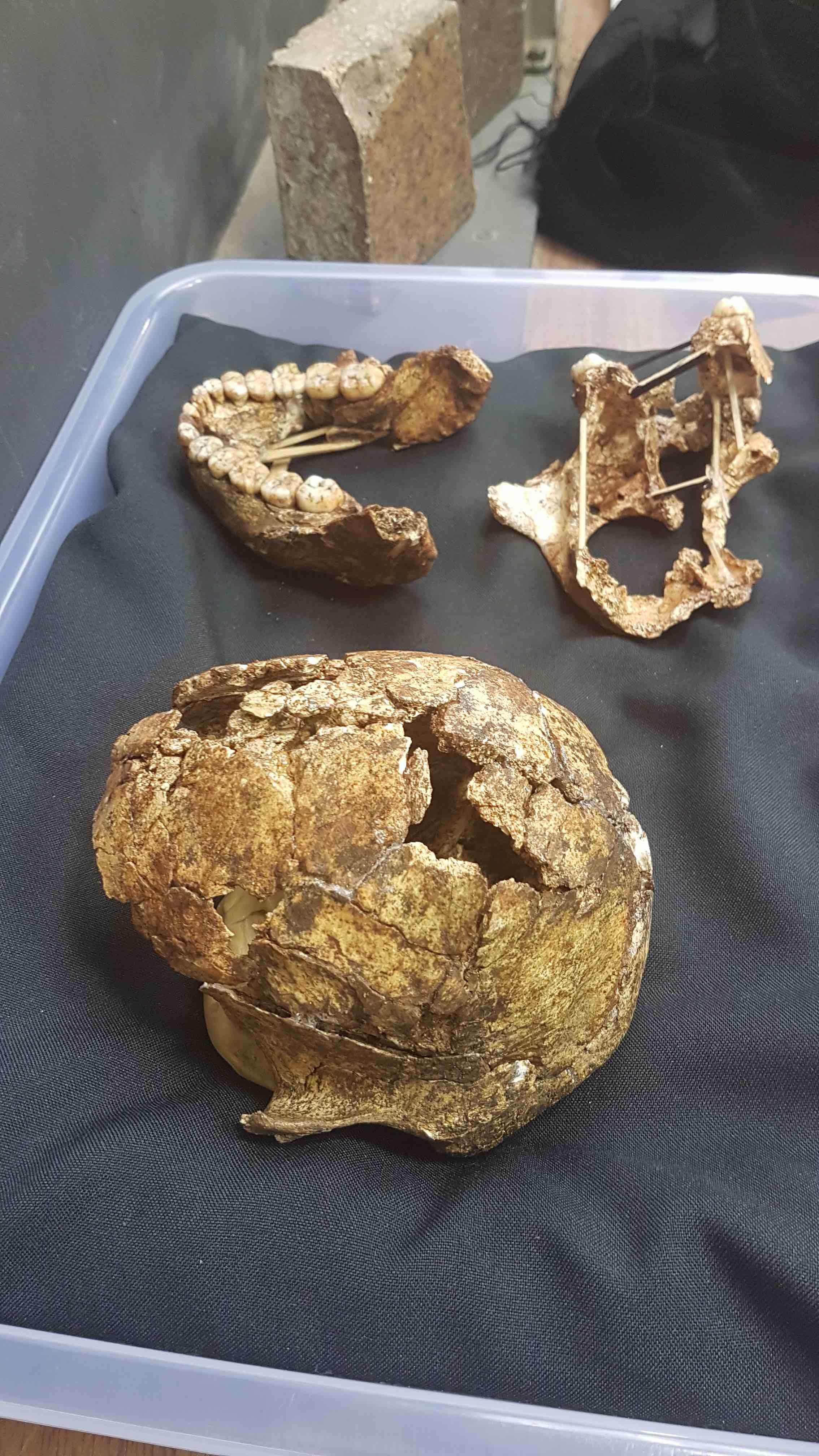 Drimolen fossil