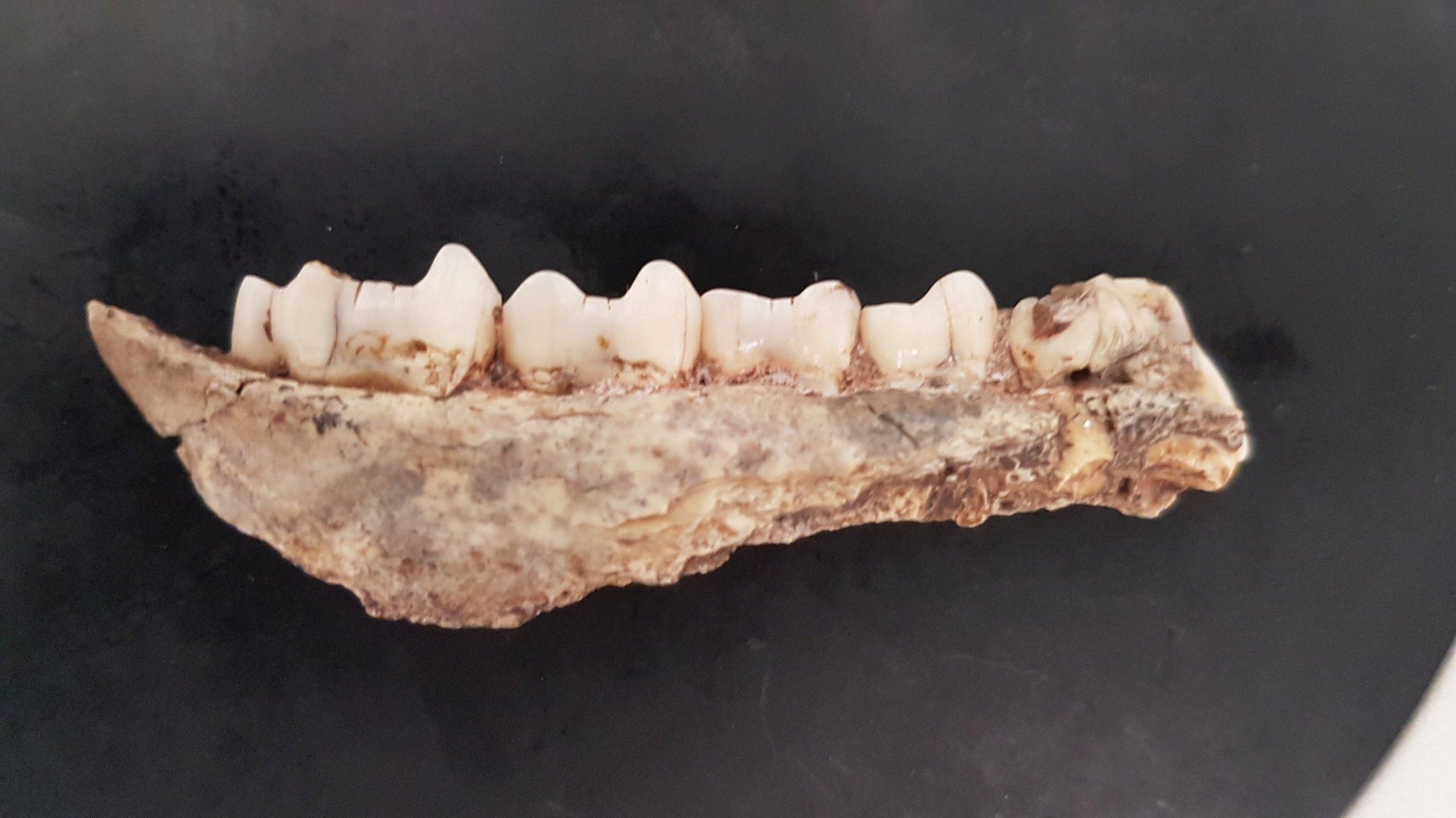 Fossil Jaw of a 2Myo Baboon