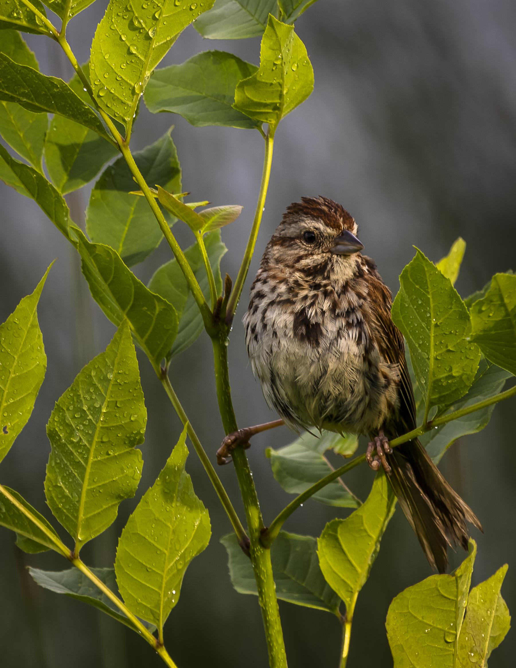 Rainy Day Song Sparrow - Au Train Lake - Au Train, MI