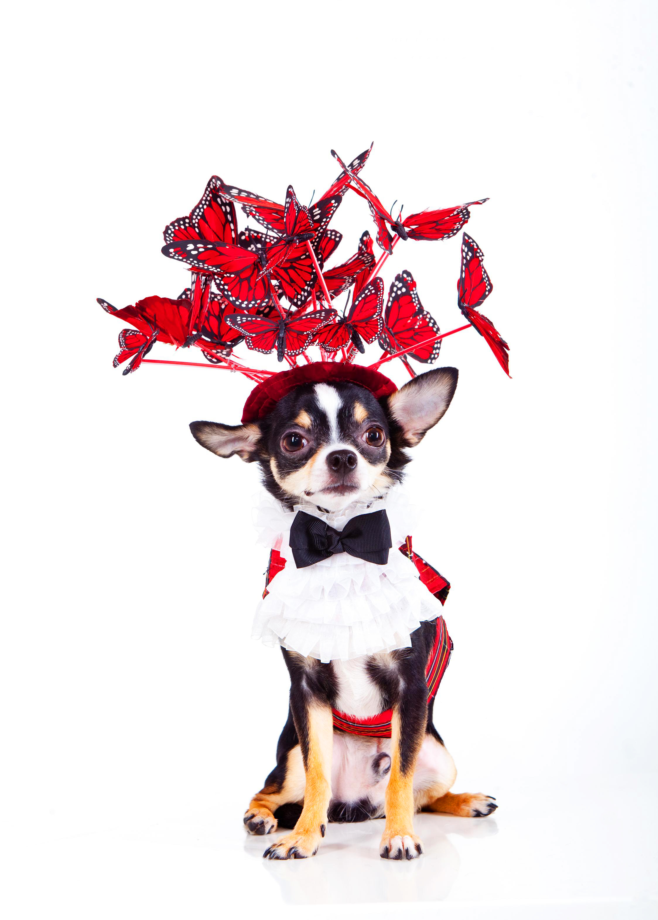 The Butterfly Hat by Anthony Rubio  Canine Couture Dogs.jpg