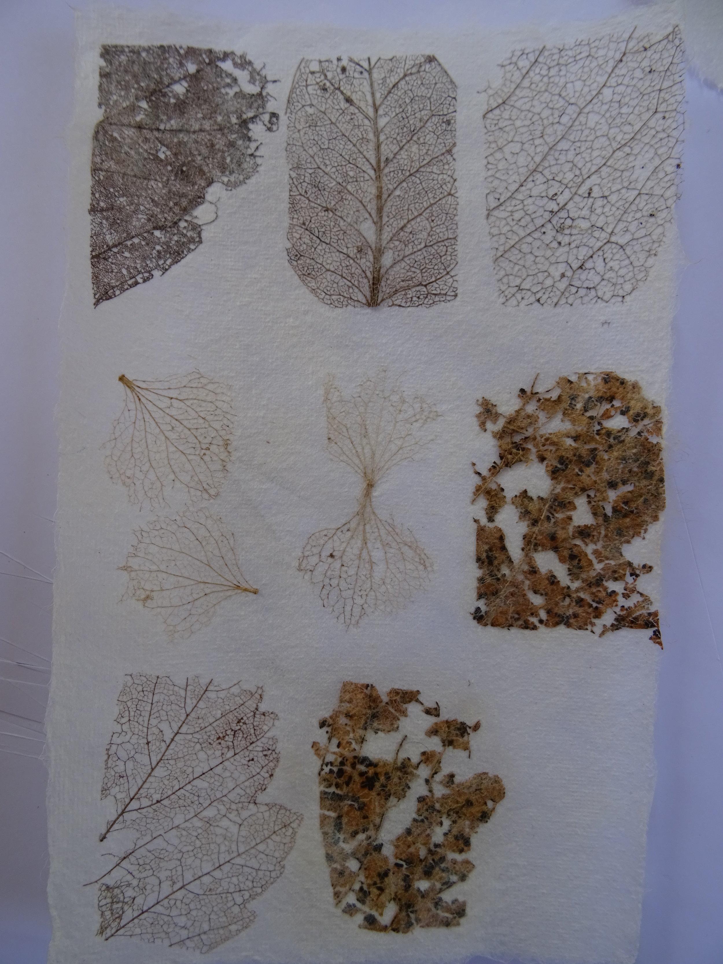 skeleton leaves set in paper.JPG