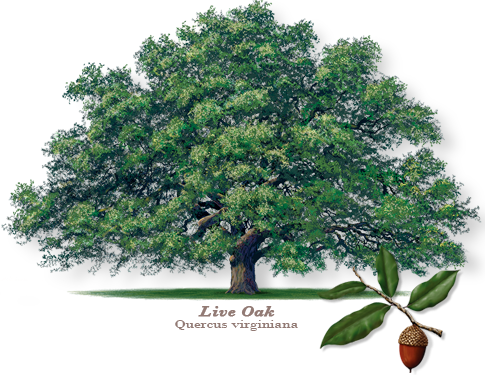 the live oak tree - The Live Oak Tree is a staple of Central Texas and a symbol of our strong heritage. This beautiful tree is a vital cornerstone of our natural landscape…