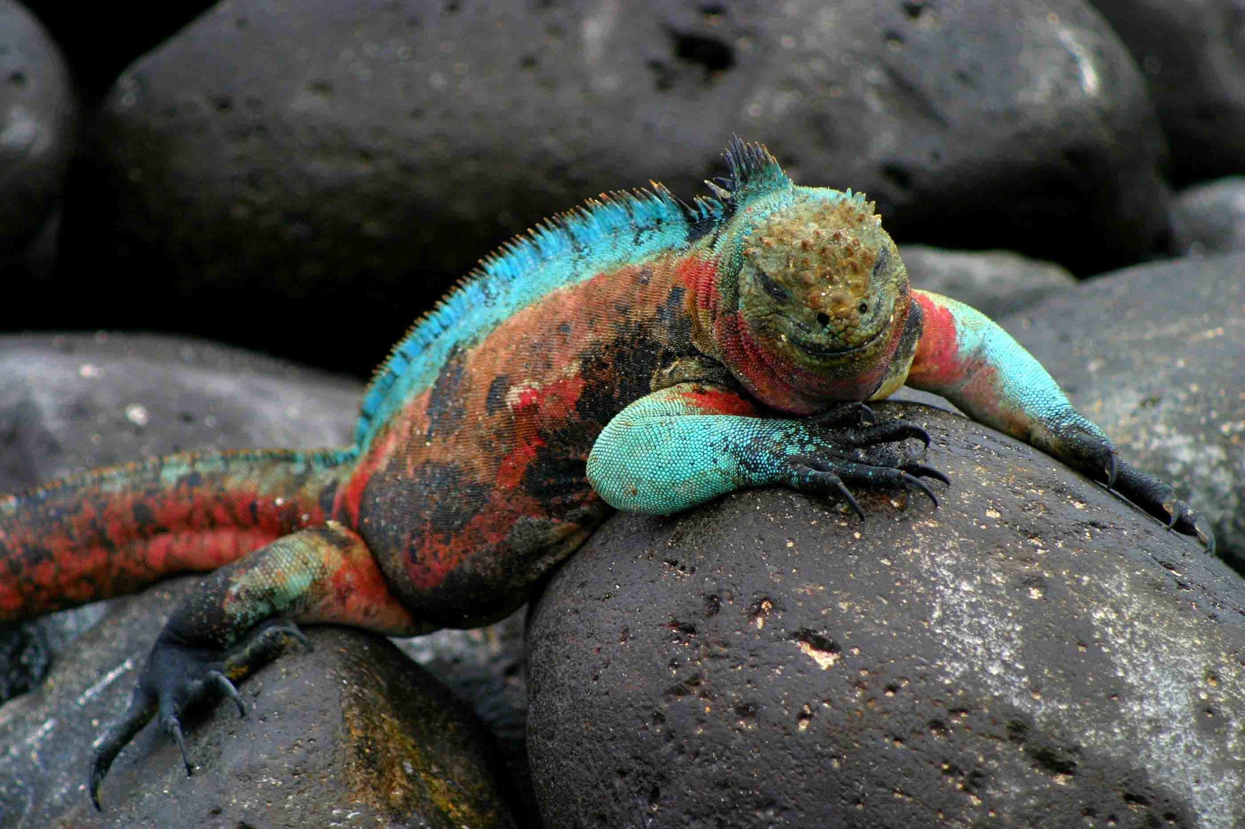 Marine-iguana-Galapagos-islands.jpg