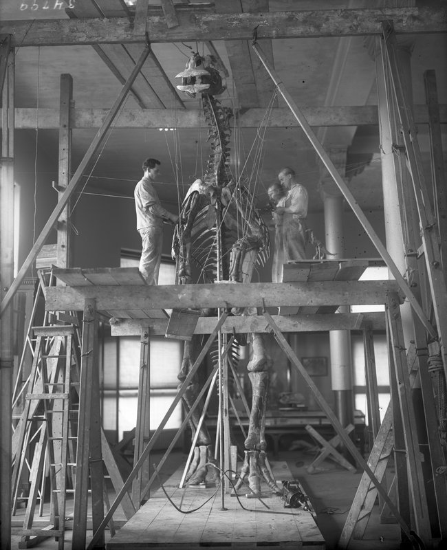 We may never have done it ourselves, but we can guess that reconstructing a dinosaur skeleton requires a well-developed Persistence  superpower .    wnycradiolab :            amnhnyc :               Another amazing shot from the archives: Museum staff work on mounting a duck-billed dinosaur, 1916, © AMNH Library/Image #34799  Explore all the photos from the Picturing the Museum collection here:  http://bit.ly/l8nOsp                     This would make a beautiful painting.