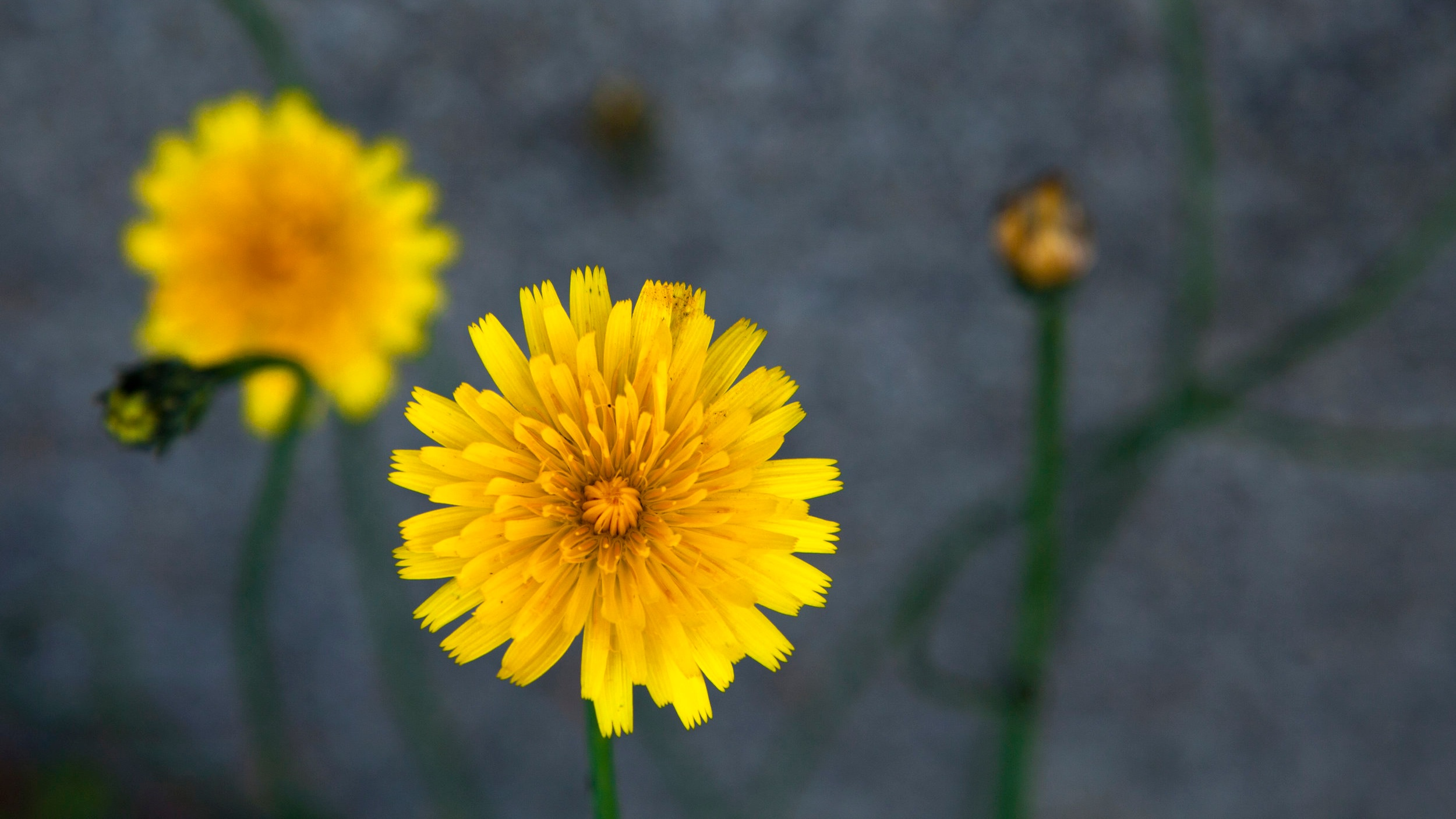 Why Dandelions? - The meaning of healing held in these flowers.