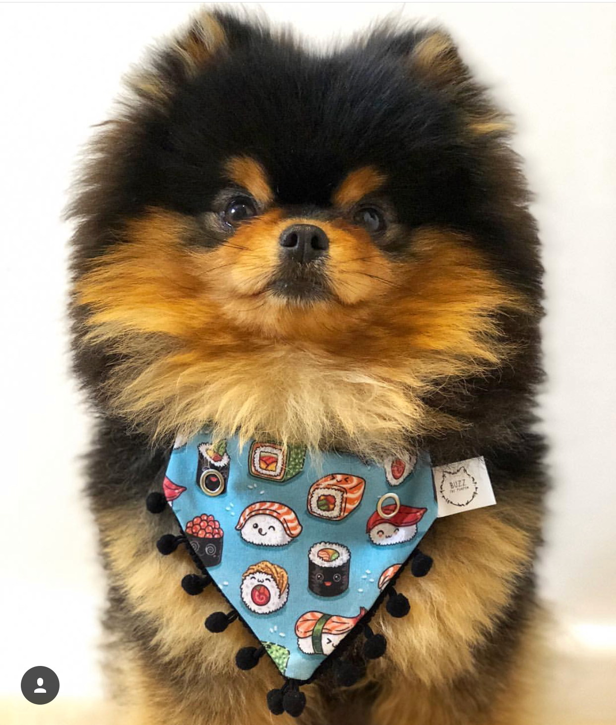 @BUZZ_ THE _POMPOM   Living the good life in UK, we adore him and her mom. This super well trained buddy melt our heart everyday