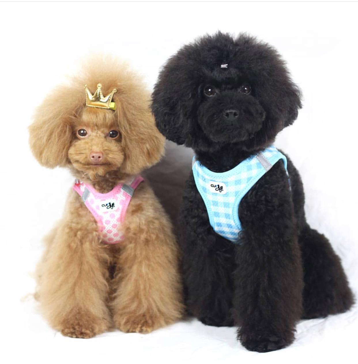 @cooper_ audrey _toypoodles   Son peluches a tiempo parcial y nos encanta jugar con ellos siempre que podemos. estos dos poodles de valencia son todo dulzura.