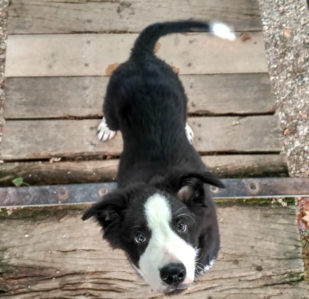 septiembre '18 - SiD   Sid, es un cachorro de Border Collie de 3 meses. Es súper bueno, le encanta complacer a su dueño y jugar todo el dia sin parar.  Le encanta el agua, sea de río, de mar o de un charco de agua. Le encantan los paseos largos, ir con sus amidogs a pasear o ha corretar por el campo, ir al PipíCan o ir por la ciudad.  Lo ADOPTAMOS con 2 meses, era una bolita de pelo blanca y negra, mordía todo lo que le venía de paso, nos cojía los zapatos y nos veías correr por toda la casa intentandolo cojer, pero lo mejor era cuando estabamos mirando una película y se ponía con nosotros sin decir nada o cuando estabamos comiendo y nos miraba con los ojitos de cachorrito para que le dieramos un trozo.