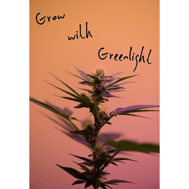 Good Day Sunshine.☀️ Get out there and grow.🌿 . . . . . . . . . . #wednesday #mondaze #cannabis #decriminalize #instagood #recruiterlife #recruiter #canna #greenlight #weeklydose #journey #career #recruitment #doseit #letgo #happy #green #pot #cannajobs #cannacovered #greendream #greenleaf #bud #budpress #greengate #wellnesswednesday
