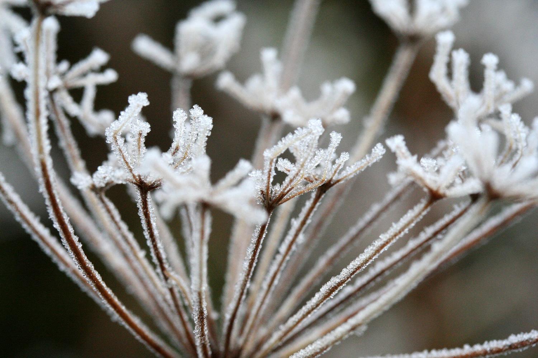frosty seed heads.jpg