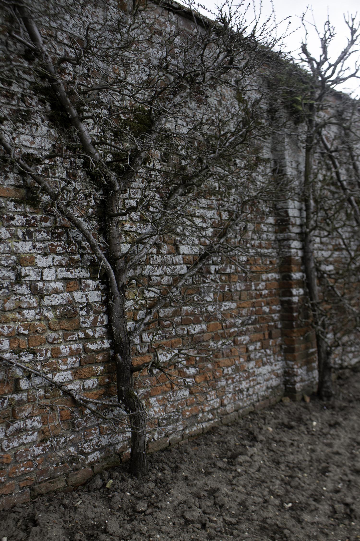 Espalier fruit trees in the walled garden
