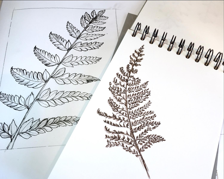 Fern sketches