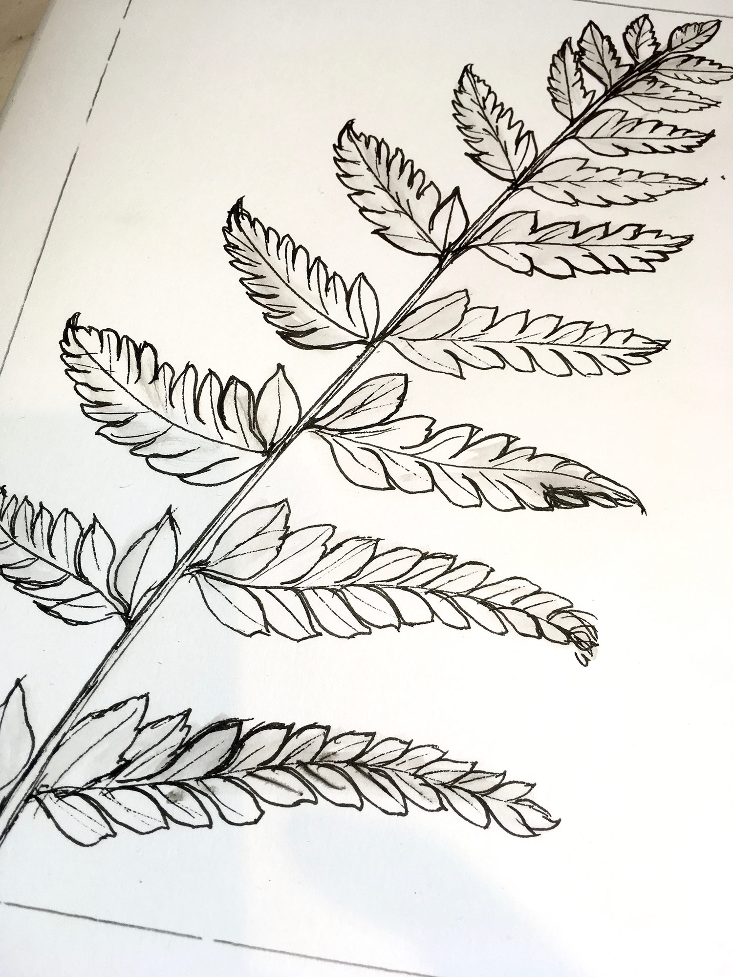 Fern Sketch (detail)