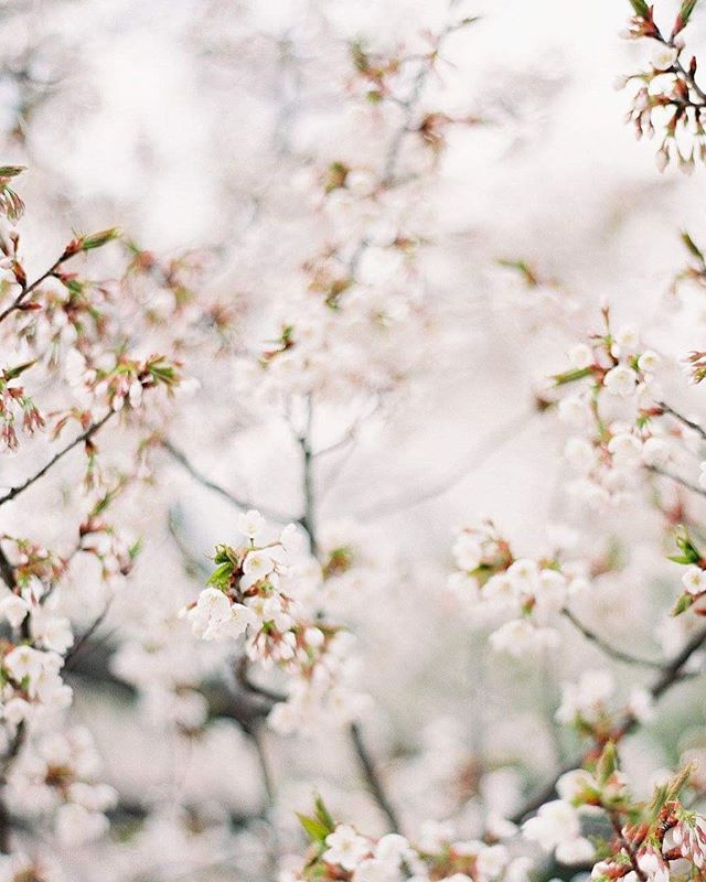 Love this sweet season full of flowering trees and spring blossoms and time spent outdoors seeking the fresh air. How do you embrace spring? Image by @michaelandcarina processed by @richardphotolab. #cherryblossoms #spring #washingtondc #michaelandcarina #filmphotography #filmisnotdead #filmweddingphotographer #filmweddingphotography #blossoms #virginiaweddingphotographer #virginiaweddingphotography