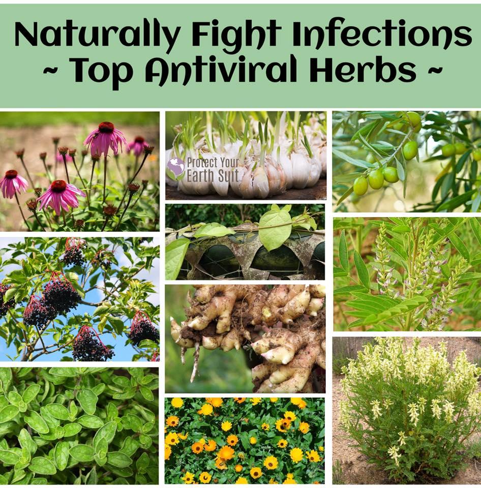 1 Top Antiviral Herbs.jpg