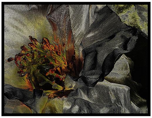 Black Poppy_c3.jpg