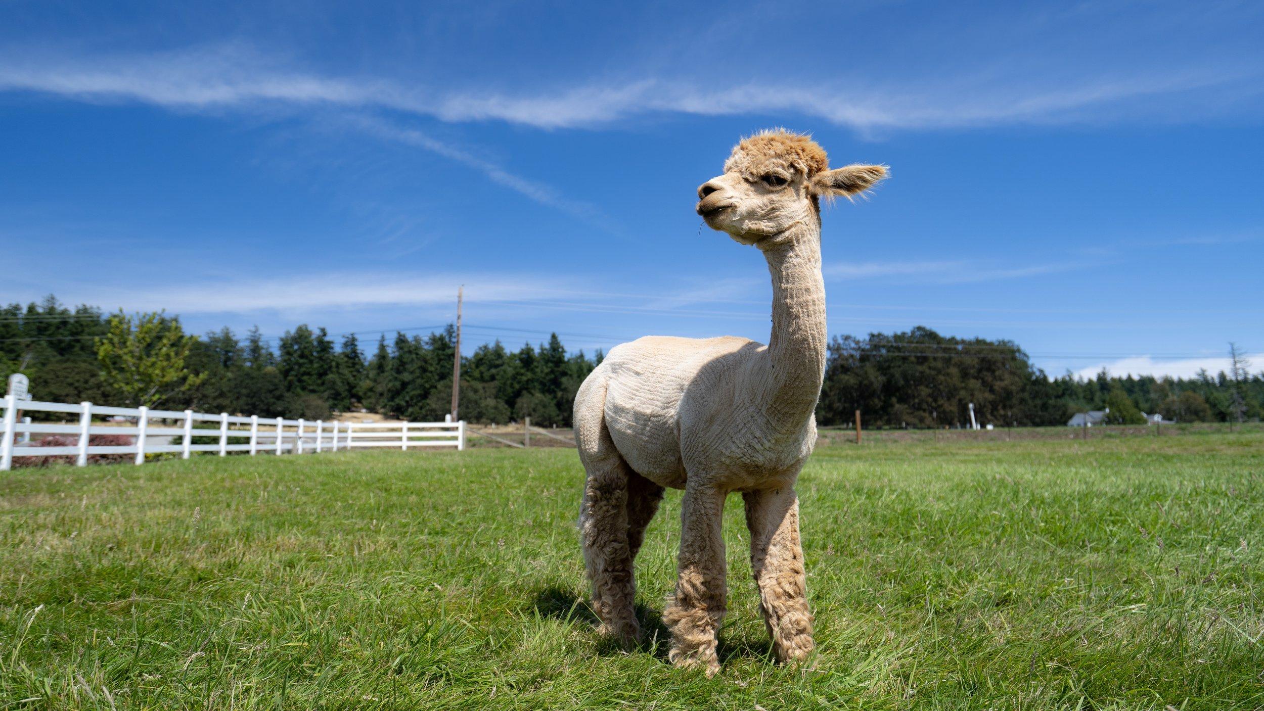 krystal_acres_alpaca_farm.jpg