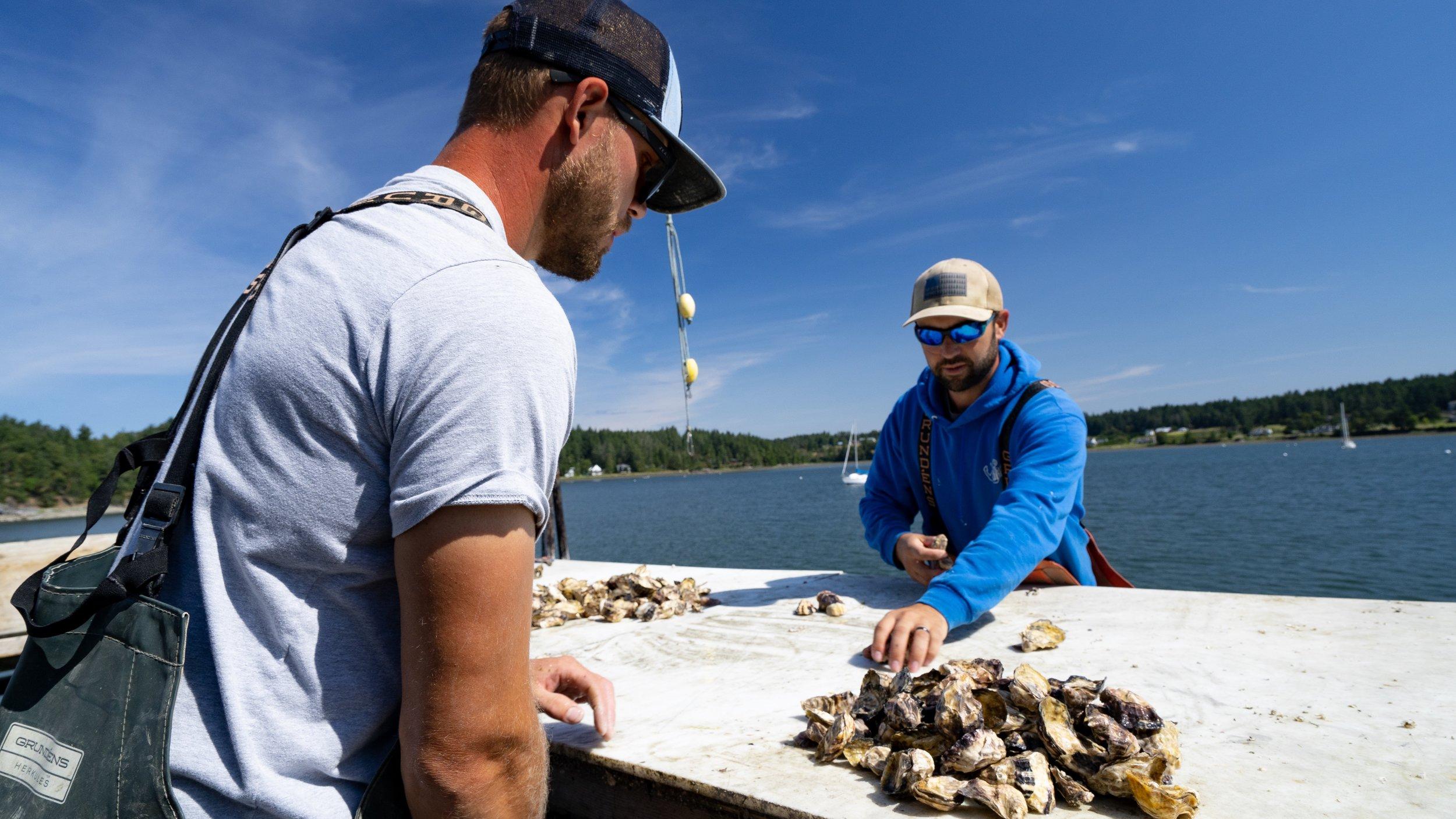 oysters_westcott_bay_shellfish_2.jpg