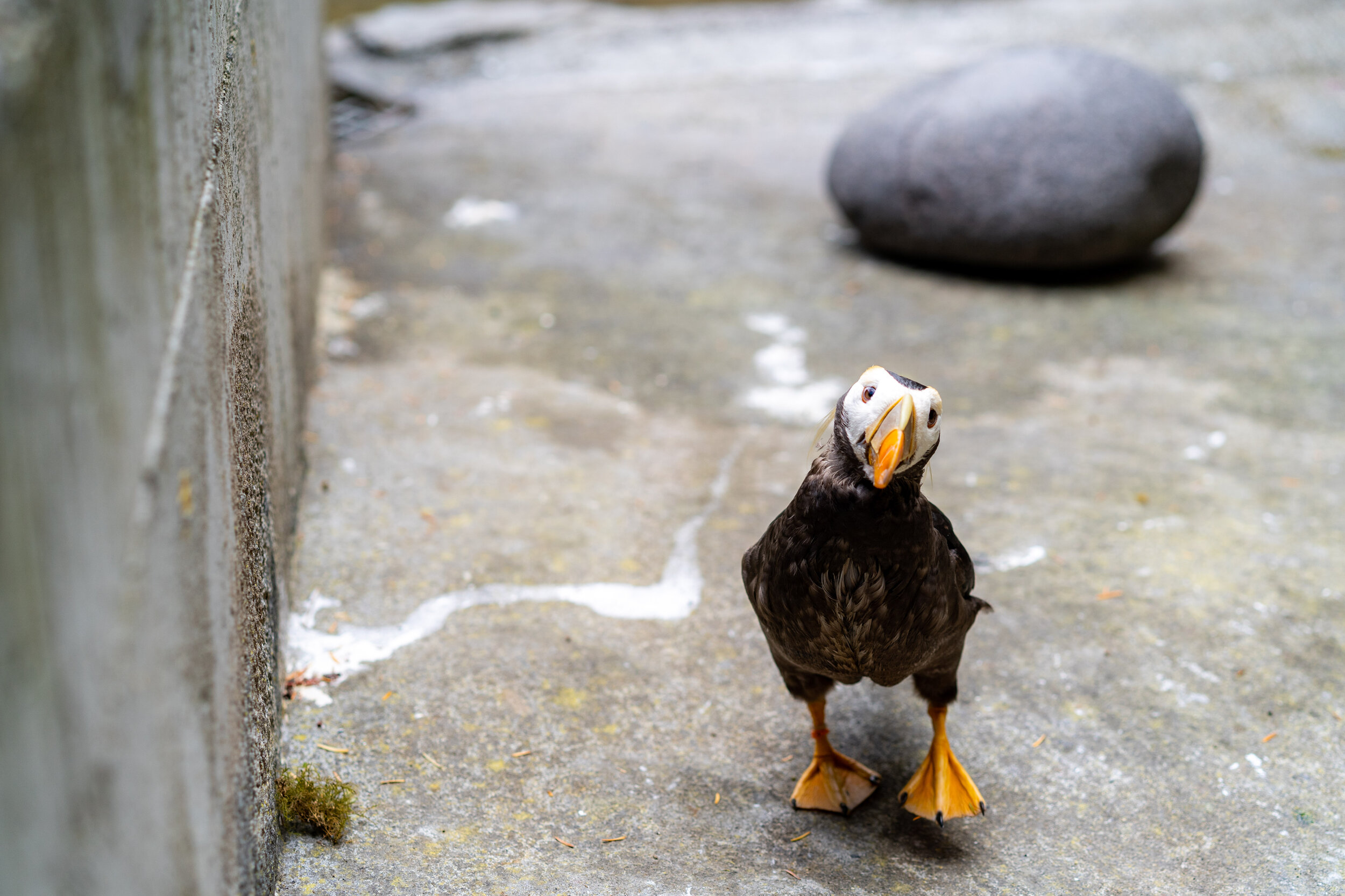 puffin at point defiance zoo 3.jpg