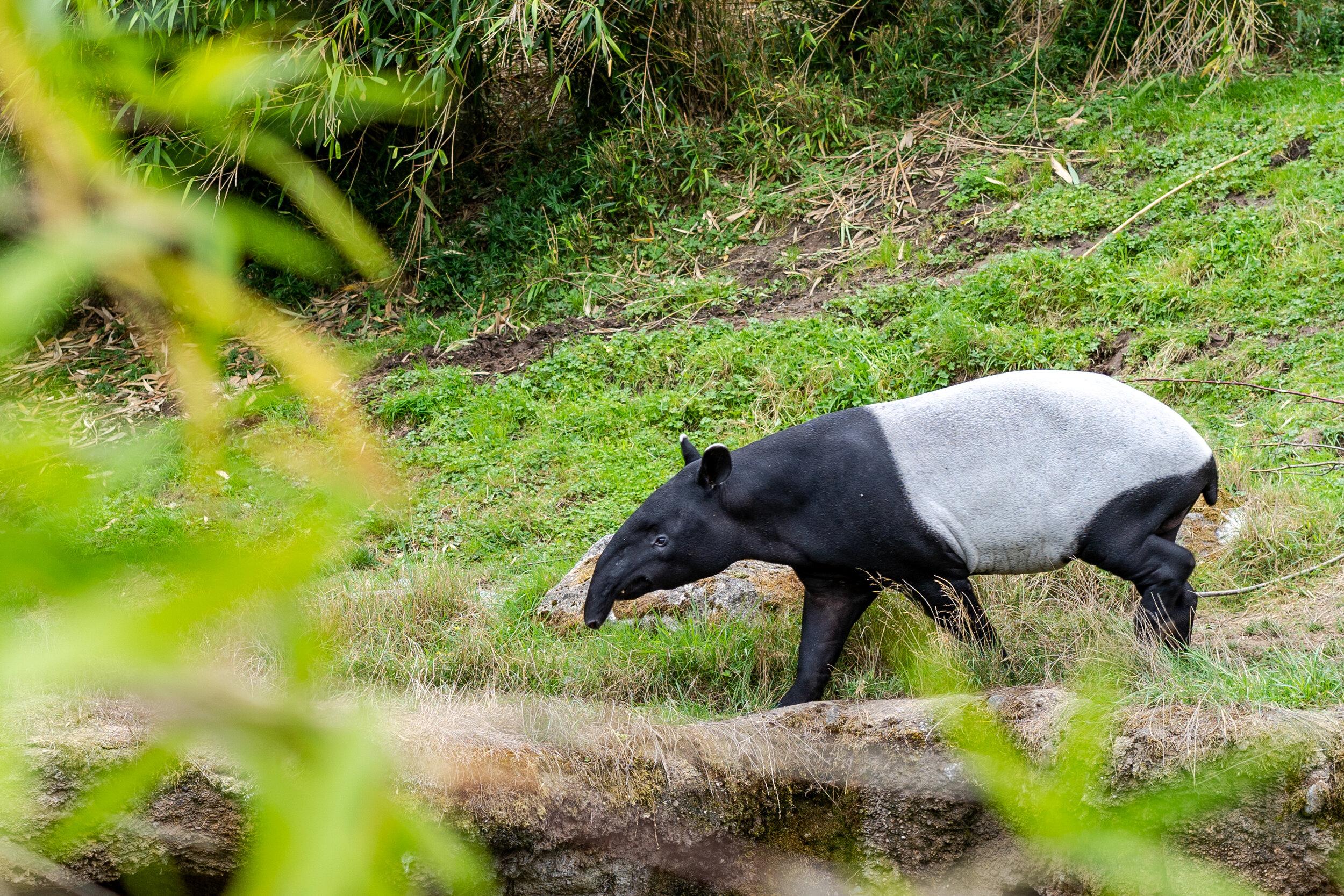 tapir at point defiance zoo.jpg