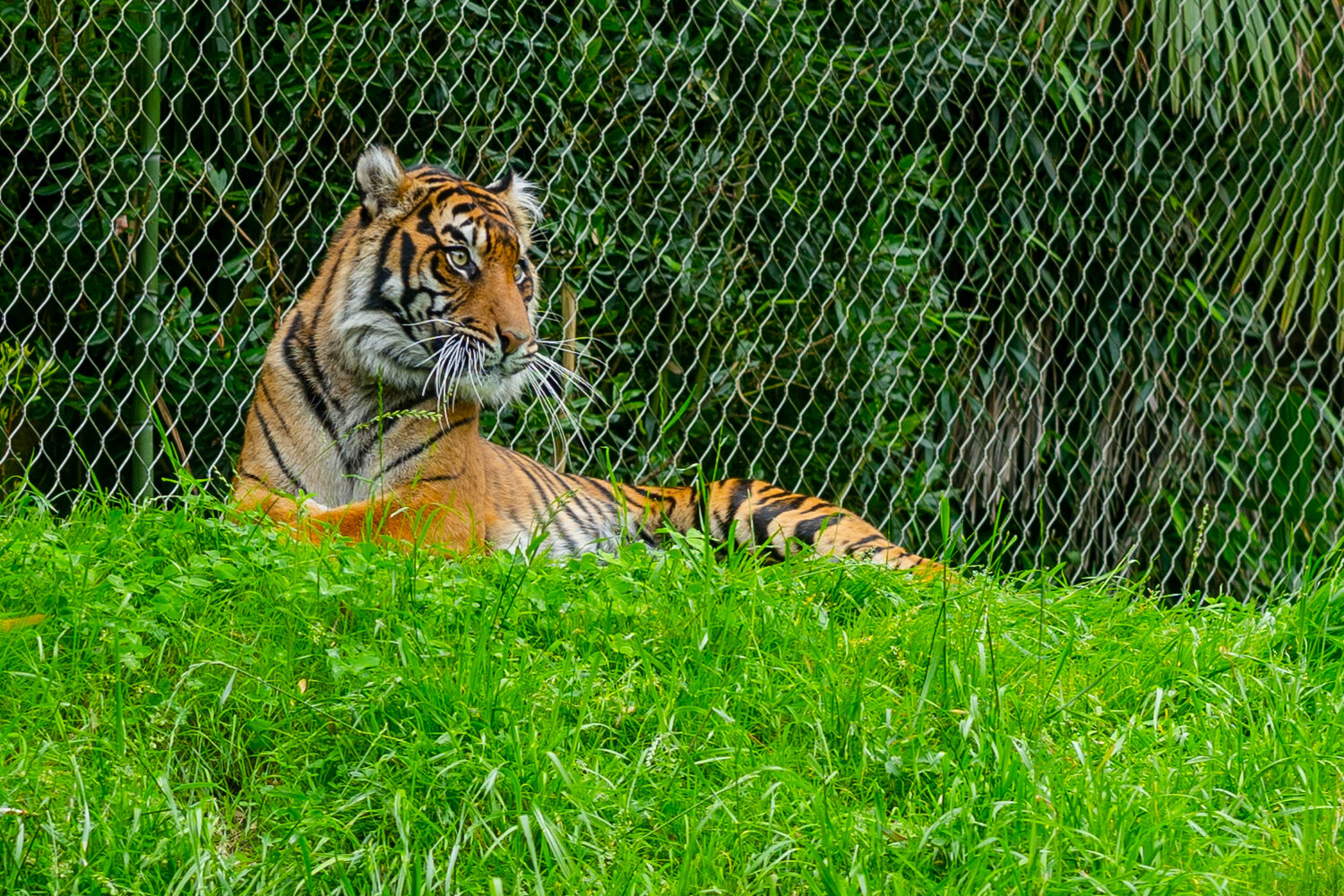 tiger at point defiance zoo 3.jpg