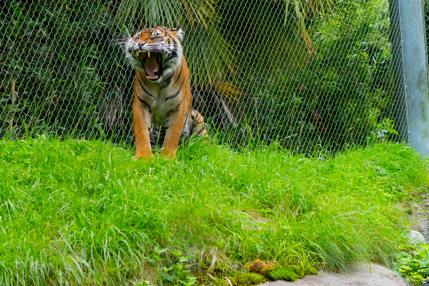 tiger at point defiance zoo 2.jpg