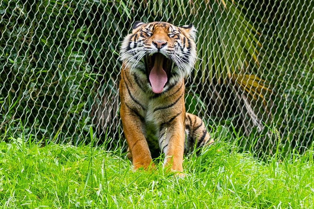 tiger at point defiance zoo.jpg