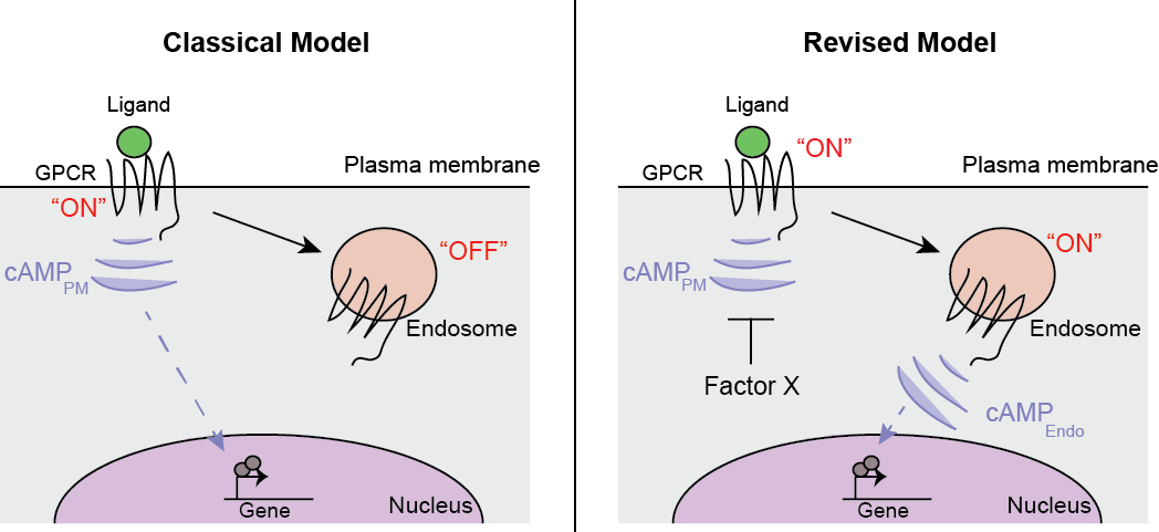 "Figure- Spatial encoding of GPCR/cAMP cellular responses.   Left,      The classical GPCR model: receptors sense ligands and initiate signal transduction from the cell surface, but are turned ""off"" once internalized.      Right,      A revised model based on our data: GPCRs activation and cAMP production from endosomal receptors is more efficiently coupled to the cellular transcriptional response."