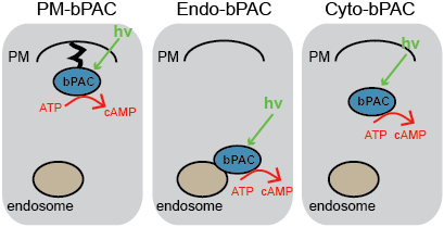 Figure 1- Site-specific generation of cAMP in cells.  A light-activated adenylyl cyclase is targeted to the plasma membrane (PM), endosomes, or cytosol for local generation of cAMP using light.