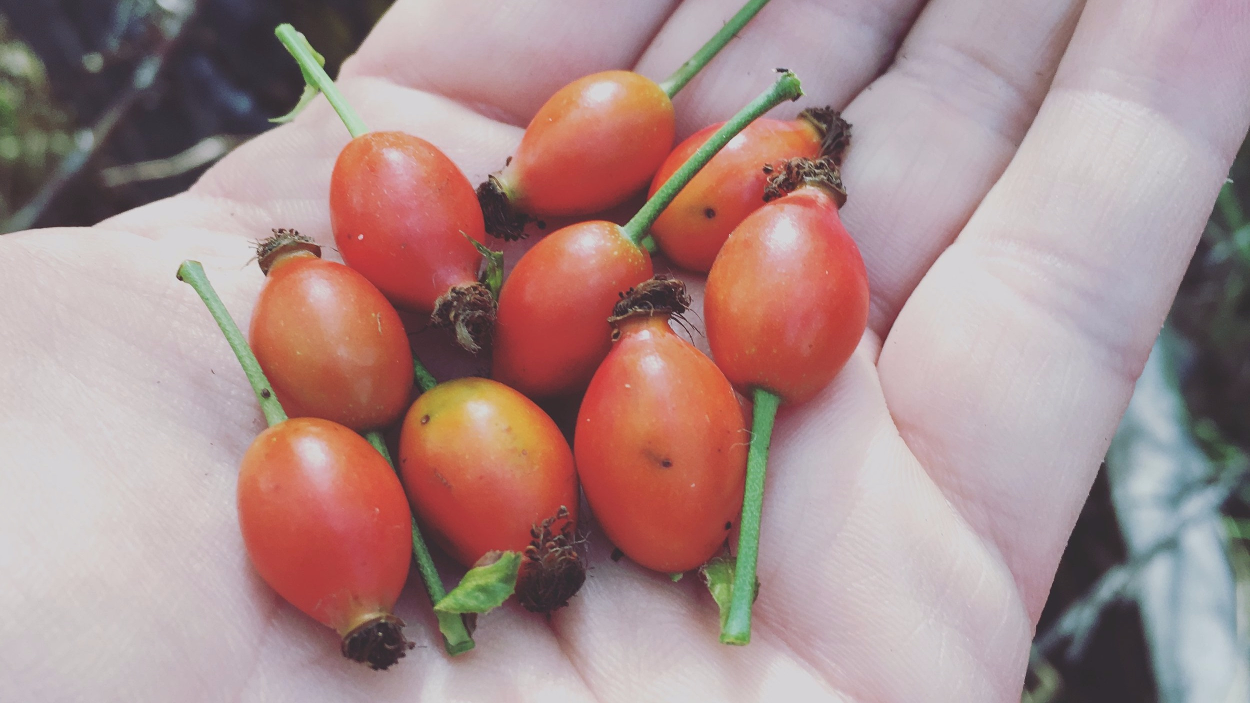 WILD FORAGED ROSE-HIPS