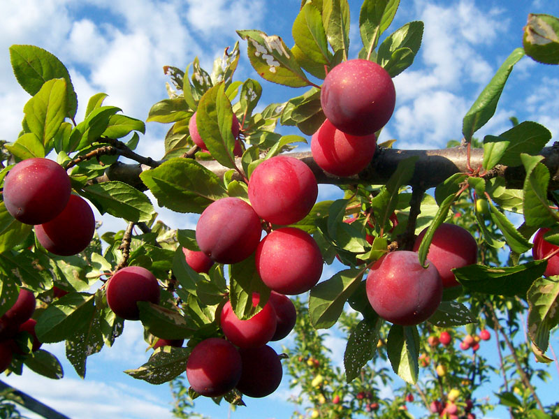 fruit trees - Apples, Pears, Plums, Cherries, carried all year round in lots of varieties. We even sell them pre-trained to grow on walls!Dwarf or standard rootstock? Is it self fertile or does it need a pollinator? If you're not sure of the answers, then come and see us, we'll help you make the right decision!