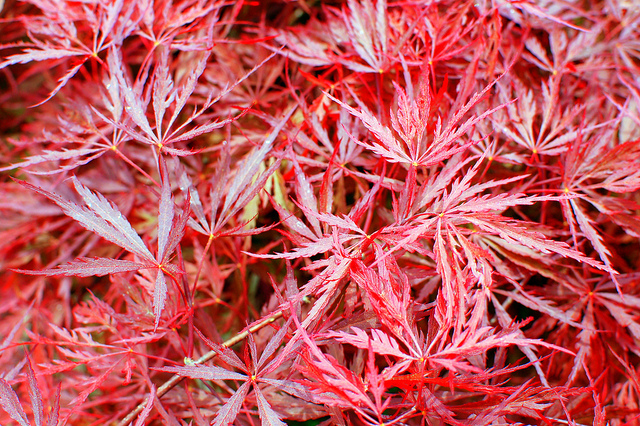 Japanese maples - We've become as well known for these as we have for our trees; we always have lots in stock to choose from, either to go in the ground or to spend the rest of their lives in a handsome pot.