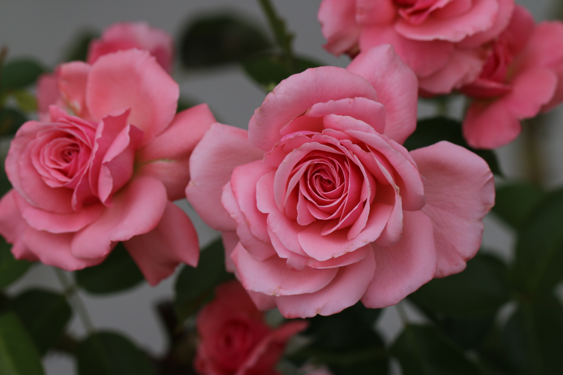 ROSES - We've extended our rose range over the last 12 months, to offer over 150 varieties for the 2019 season. We offer these bare-rooted at the end of the season (for incredible value), then pot the remainder for 2019 sales. You won't buy top quality roses cheaper….anywhere!