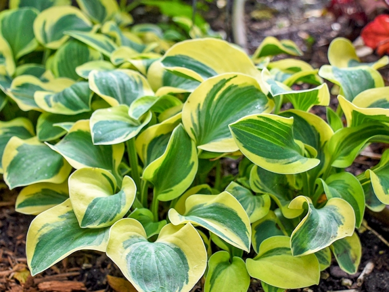 Hosta 'Mighty Mouse', a sport of 'Blue Mouse Ears' with creamy yellow edging to the leaf